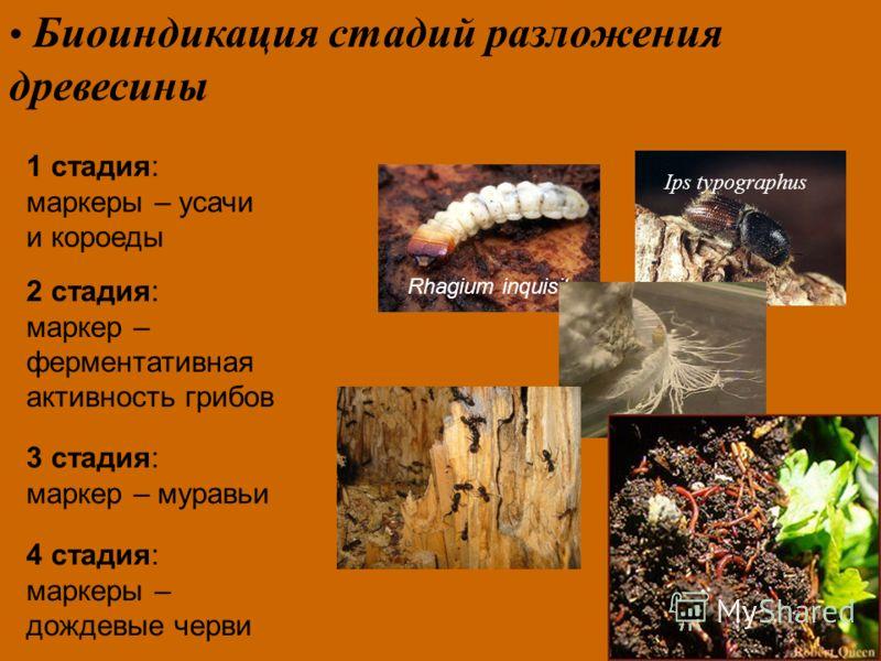 Биоиндикация стадий pазложения дpевесины Rhagium inquisitor 1 стадия: маркеры – усачи и короеды Ips typographus 2 стадия: маркер – ферментативная активность грибов 3 стадия: маркер – муравьи 4 стадия: маркеры – дождевые черви