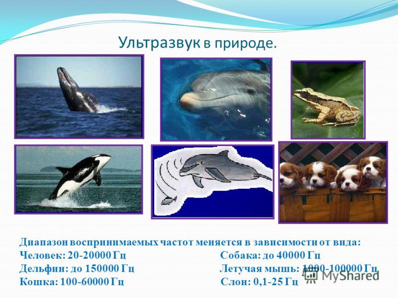 Ультразвук в природе. Диапазон воспринимаемых частот меняется в зависимости от вида: Человек: 20-20000 Гц Собака: до 40000 Гц Дельфин: до 150000 Гц Летучая мышь: 1000-100000 Гц Кошка: 100-60000 Гц Слон: 0,1-25 Гц