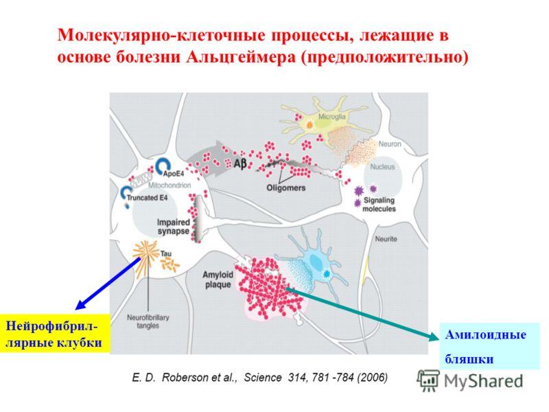 Молекулярно-клеточные процессы, лежащие в основе болезни Альцгеймера (предположительно) Амилоидные бляшки Нейрофибрил- лярные клубки