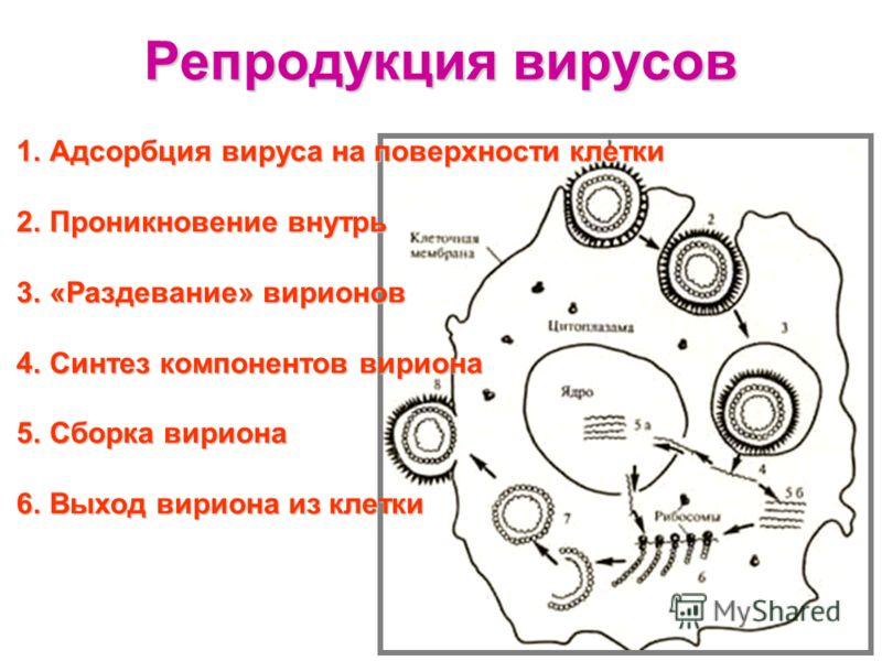 Репродукция вирусов 1.Адсорбция вируса на поверхности клетки 2.Проникновение внутрь 3.«Раздевание» вирионов 4.Синтез компонентов вириона 5.Сборка вириона 6.Выход вириона из клетки