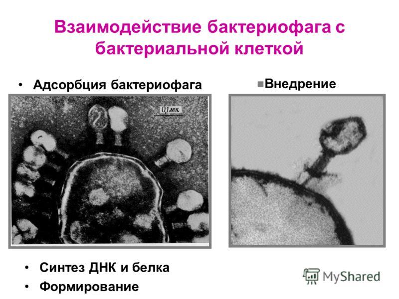 Взаимодействие бактериофага с бактериальной клеткой Адсорбция бактериофага Внедрение Синтез ДНК и белка Формирование