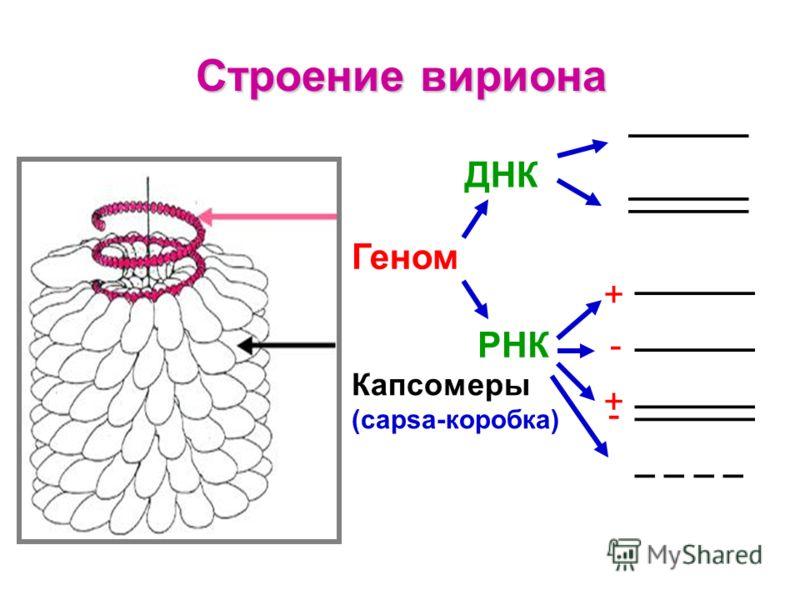 Строение вириона Геном ДНК РНК Капсомеры (capsa-коробка) ______ + - + - _ _