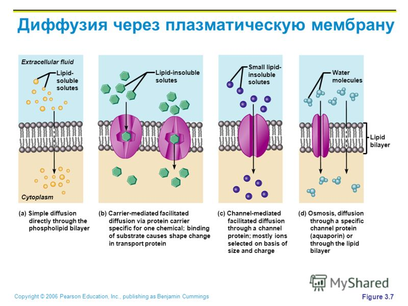 Copyright © 2006 Pearson Education, Inc., publishing as Benjamin Cummings Диффузия через плазматическую мембрану Figure 3.7 Extracellular fluid Cytoplasm Lipid- soluble solutes Lipid bilayer Lipid-insoluble solutes Water molecules Small lipid- insolu