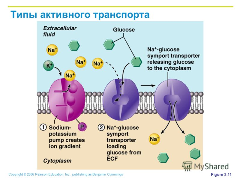 Copyright © 2006 Pearson Education, Inc., publishing as Benjamin Cummings Типы активного транспорта Figure 3.11