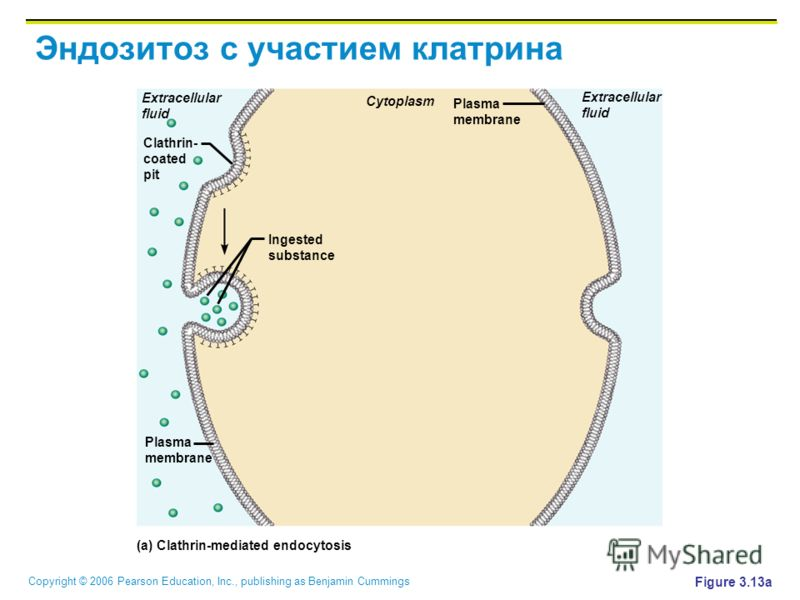 Copyright © 2006 Pearson Education, Inc., publishing as Benjamin Cummings Эндозитоз с участием катрина Figure 3.13a Cytoplasm Extracellular fluid Extracellular fluid Plasma membrane Clathrin- coated pit Plasma membrane Ingested substance (a) Clathrin