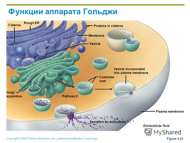 Copyright © 2006 Pearson Education, Inc., publishing as Benjamin Cummings Функции аппарата Гольджи Figure 3.21 Secretion by exocytosis Extracellular fluid Plasma membrane Vesicle incorporated into plasma membrane Coatomer coat Proteins in cisterna Me