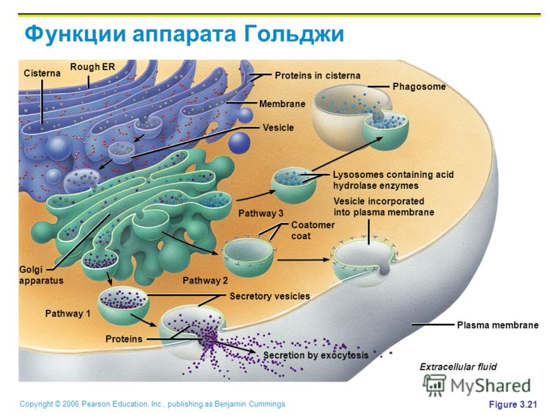Copyright © 2006 Pearson Education, Inc., publishing as Benjamin Cummings Функции аппарата Гольджи Figure 3.21 Secretion by exocytosis Extracellular fluid Plasma membrane Vesicle incorporated into plasma membrane Coatomer coat Lysosomes containing ac