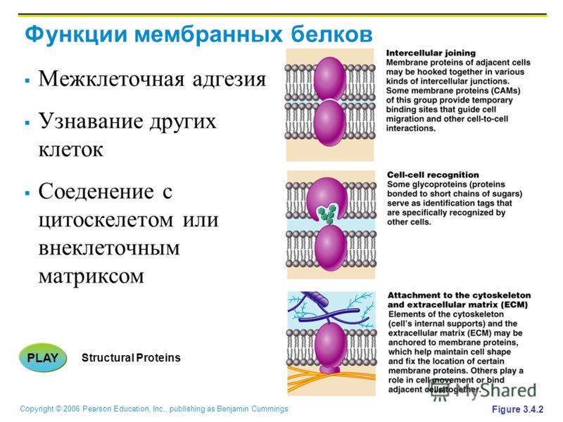 Copyright © 2006 Pearson Education, Inc., publishing as Benjamin Cummings Функции мембранных белков Межклеточная адгезия Узнавание других клеток Соеденение с цитоскелетом или внеклеточным матриксом Figure 3.4.2 PLAY Structural Proteins