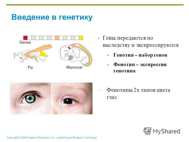 Copyright © 2006 Pearson Education, Inc., publishing as Benjamin Cummings Введение в генетику Гены передаются по наследству и экспрессируются Генотип – набор генов Фенотип – экспрессия генотипа Фенотипы 2х типов цвета глаз