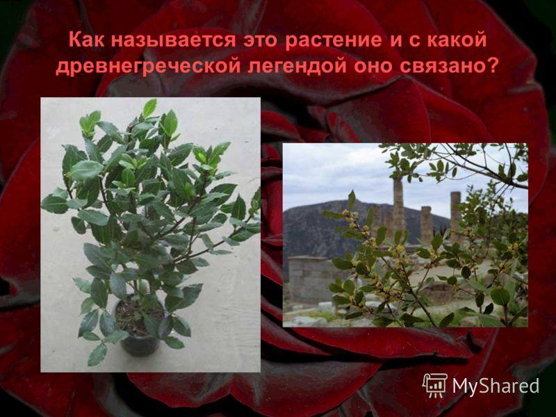 Как называется это растение и с какой древнегреческой легендой оно связано?