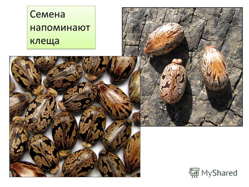 Семена напоминают клеща