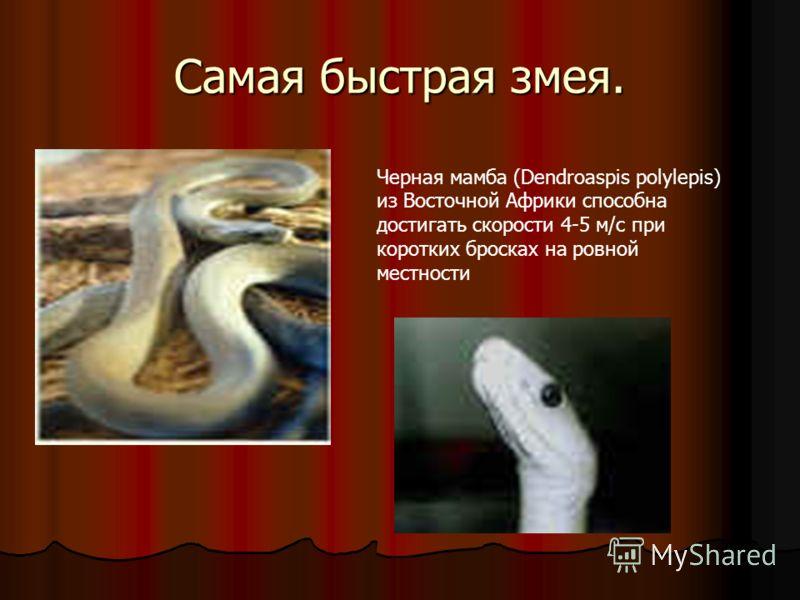 Самая быстрая змея. Черная мамба (Dendroaspis polylepis) из Восточной Африки способна достигать скорости 4-5 м/с при коротких бросках на ровной местности