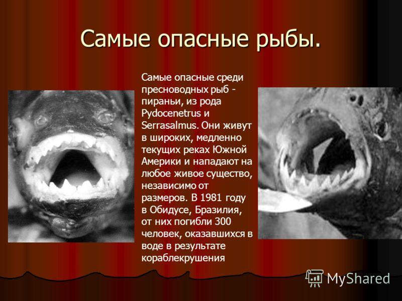 Самые опасные рыбы. Самые опасные среди пресноводных рыб - пираньи, из рода Pydocenetrus и Serrasalmus. Они живут в широких, медленно текущих реках Южной Америки и нападают на любое живое существо, независимо от размеров. В 1981 году в Обидусе, Брази