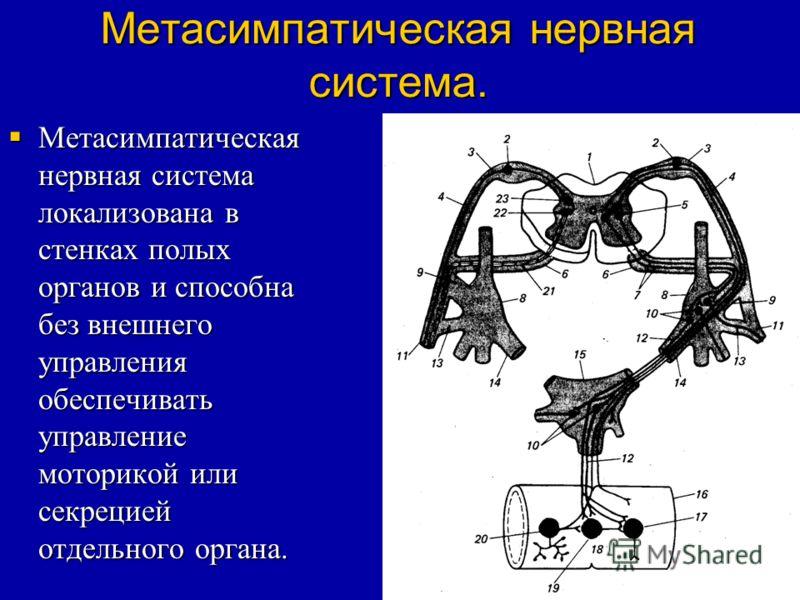 Метасимпатическая нервная система. Метасимпатическая нервная система локализована в стенках полых органов и способна без внешнего управления обеспечивать управление моторикой или секрецией отдельного органа. Метасимпатическая нервная система локализо