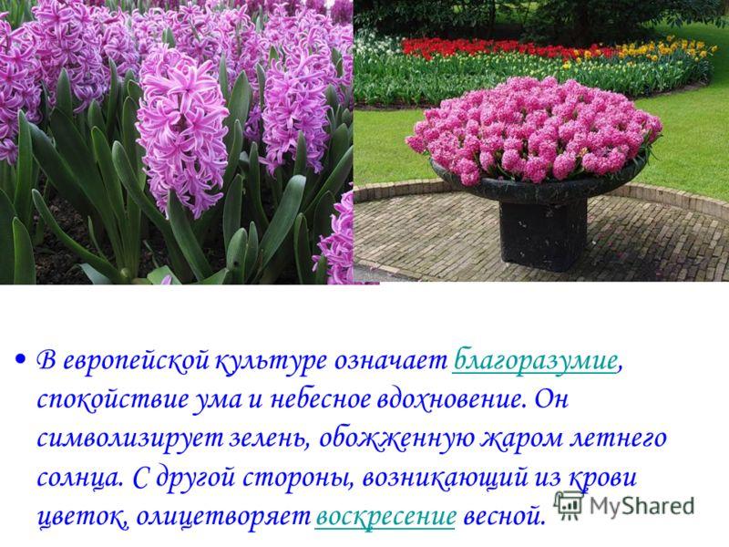 В европейской культуре означает благоразумие, спокойствие ума и небесное вдохновение. Он символизирует зелень, обожженную жаром летнего солнца. С другой стороны, возникающий из крови цветок, олицетворяет воскресение весной.благоразумиевоскресение