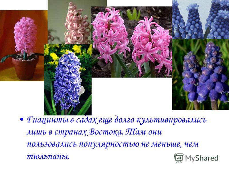 Гиацинты в садах еще долго культивировались лишь в странах Востока. Там они пользовались популярностью не меньше, чем тюльпаны.