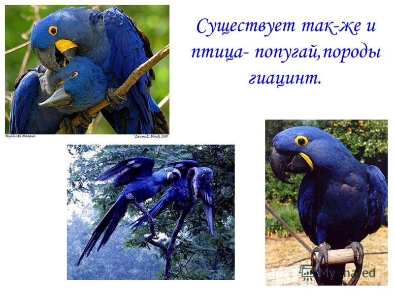 Существует так-же и птица- попугай,породы гиацинт.