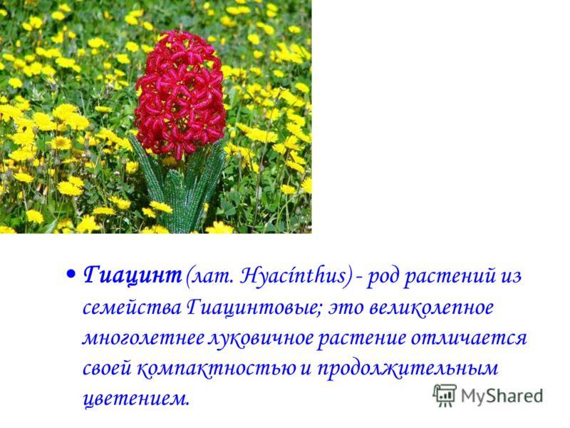 Гиaцинт (лат. Hyacínthus) - род растений из семейства Гиацинтовые; это великолепное многолетнее луковичное растение отличается своей компактностью и продолжительным цветением.