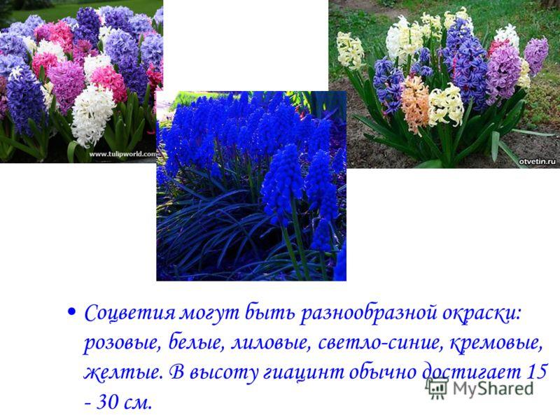 Соцветия могут быть разнообразной окраски: розовые, белые, лиловые, светло-синие, кремовые, желтые. В высоту гиацинт обычно достигает 15 - 30 см.