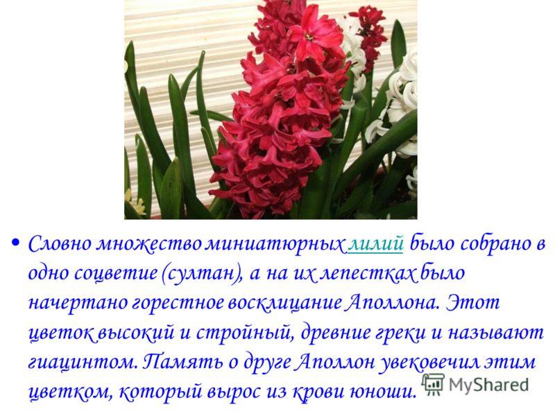 Словно множество миниатюрных лилий было собрано в одно соцветие (султан), а на их лепестках было начертано горестное восклицание Аполлона. Этот цветок высокий и стройный, древние греки и называют гиацинтом. Память о друге Аполлон увековечил этим цвет