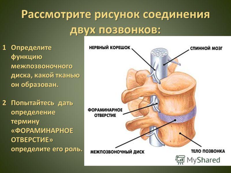 Рассмотрите рисунок соединения двух позвонков: 1Определите функцию межпозвоночного диска, какой тканью он образован. 2Попытайтесь дать определение термину «ФОРАМИНАРНОЕ ОТВЕРСТИЕ» определите его роль.