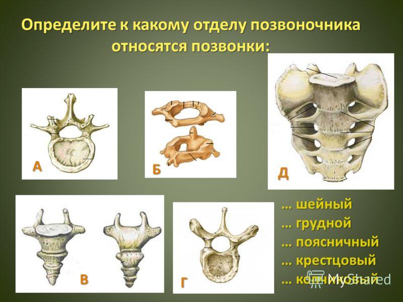 Определите к какому отделу позвоночника относятся позвонки: А Г Б В Д … шейный … грудной … поясничный … крестцовый … копчиковый