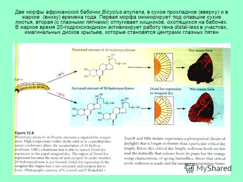 Две морфы африканской бабочки Bicyclus anynana, в сухое прохладное (вверху) и в жаркое (внизу) времена года. Первая морфа мимикрирует под опавшие сухие листья, вторая (с глазными пятнами) отпугивает хищников, охотящихся на бабочек. В жаркое время 20-
