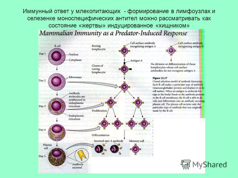 Иммунный ответ у млекопитающих - формирование в лимфоузлах и селезенке моноспецифических антител можно рассматривать как состояние «жертвы» индуцированное «хищником»