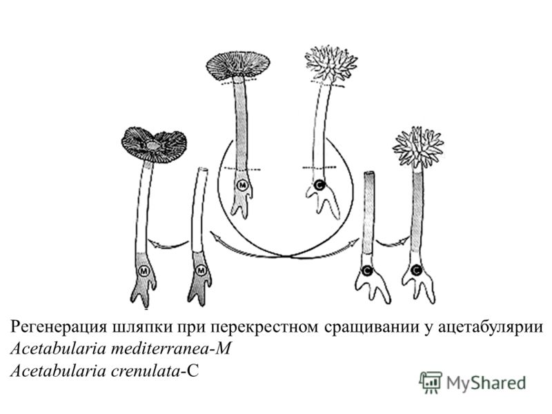 Регенерация шляпки при перекрестном сращивании у ацетабулярии Acetabularia mediterranea-M Acetabularia crenulata-C