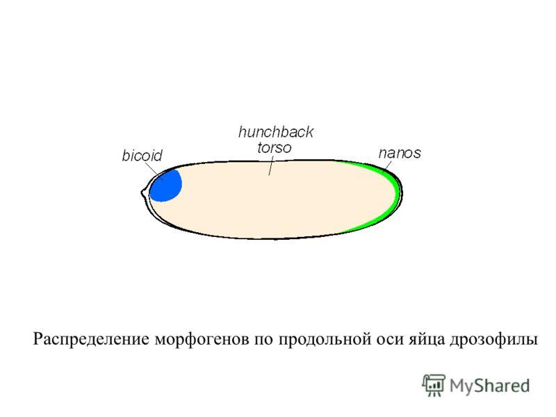 Распределение морфогенов по продольной оси яйца дрозофилы