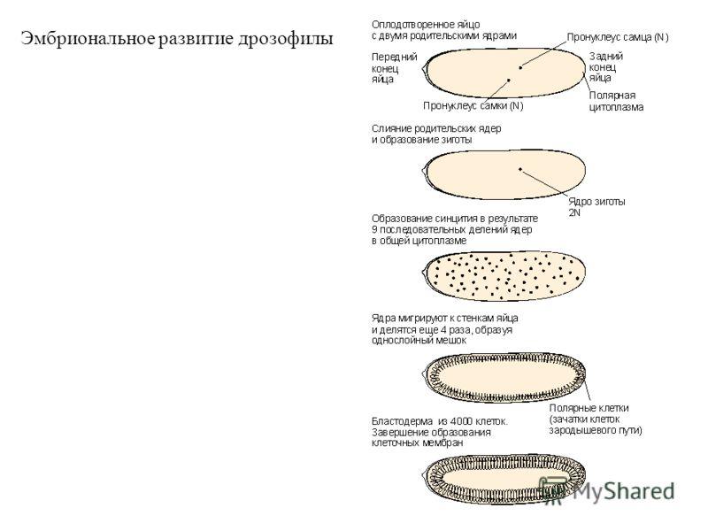 Эмбриональное развитие дрозофилы
