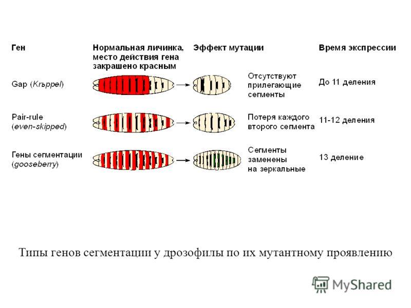Типы генов сегментации у дрозофилы по их мутантному проявлению
