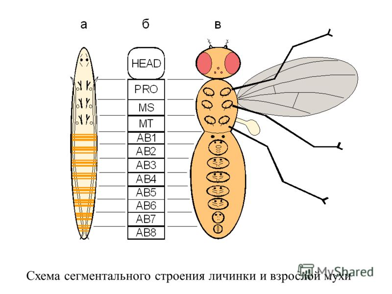 Схема сегментального строения личинки и взрослой мухи