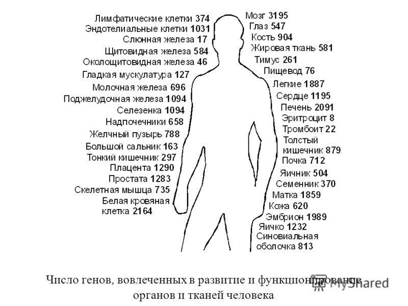 Число генов, вовлеченных в развитие и функционирование органов и тканей человека