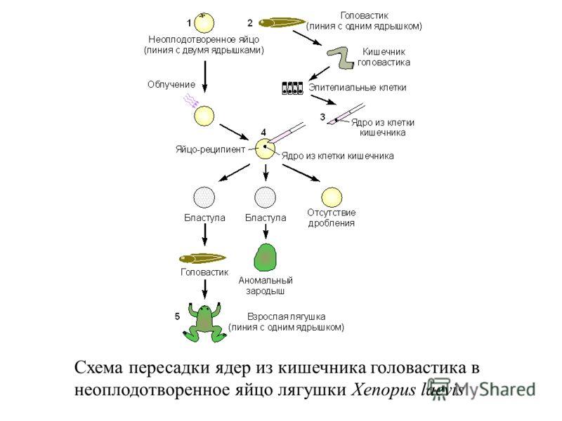 Схема пересадки ядер из кишечника головастика в неоплодотворенное яйцо лягушки Xenopus laevis