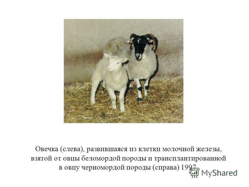 Овечка (слева), развившаяся из клетки молочной железы, взятой от овцы беломордой породы и трансплантированной в овцу черномордой породы (справа) 1997.