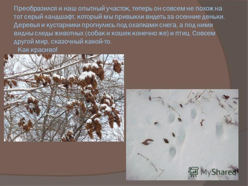 Преобразился и наш опытный участок, теперь он совсем не похож на тот серый ландшафт, который мы привыкли видеть за осенние деньки. Деревья и кустарники прогнулись под охапками снега, а под ними видны следы животных (собак и кошек конечно же) и птиц.