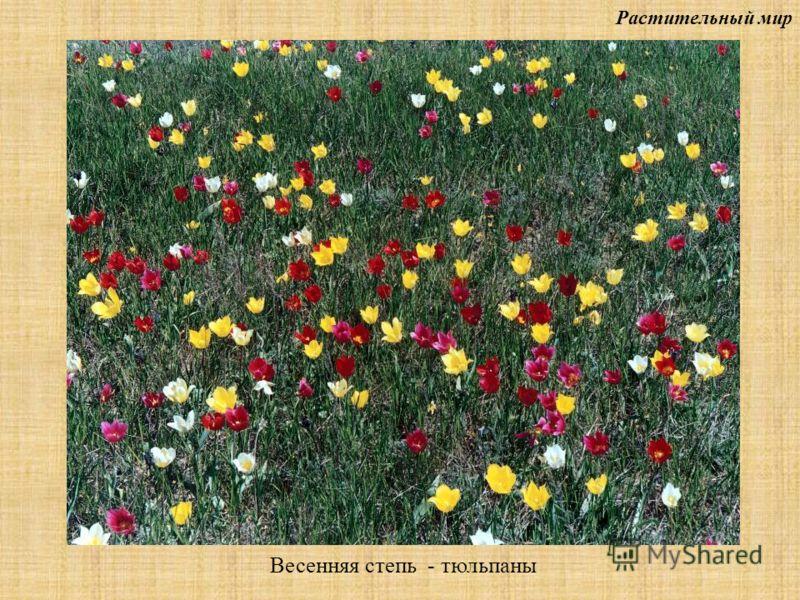 Растительный мир Весенняя степь - тюльпаны