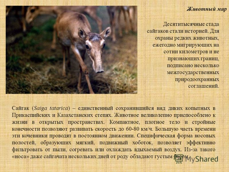 Животный мир Сайгак (Saiga tatarica) – единственный сохранившийся вид диких копытных в Прикаспийских и Казахстанских степях. Животное великолепно приспособлено к жизни в открытых пространствах. Компактное, плотное тело и стройные конечности позволяют