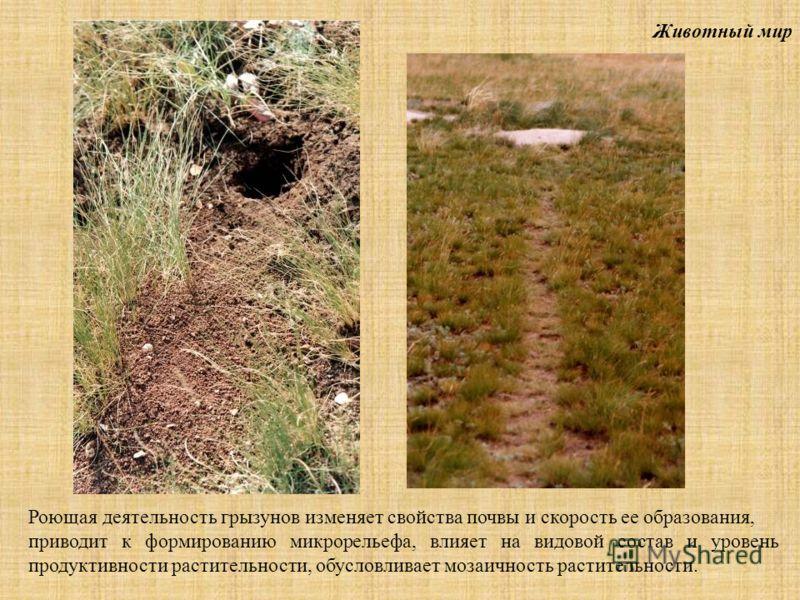 Животный мир Роющая деятельность грызунов изменяет свойства почвы и скорость ее образования, приводит к формированию микрорельефа, влияет на видовой состав и уровень продуктивности растительности, обусловливает мозаичность растительности.