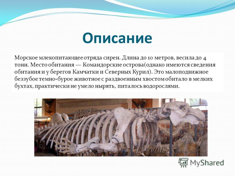 Описание Морское млекопитающее отряда сирен. Длина до 10 метров, весила до 4 тонн. Место обитания Командорские острова(однако имеются сведения обитания и у берегов Камчатки и Северных Курил). Это малоподвижное беззубое темно-бурое животное с раздвоен