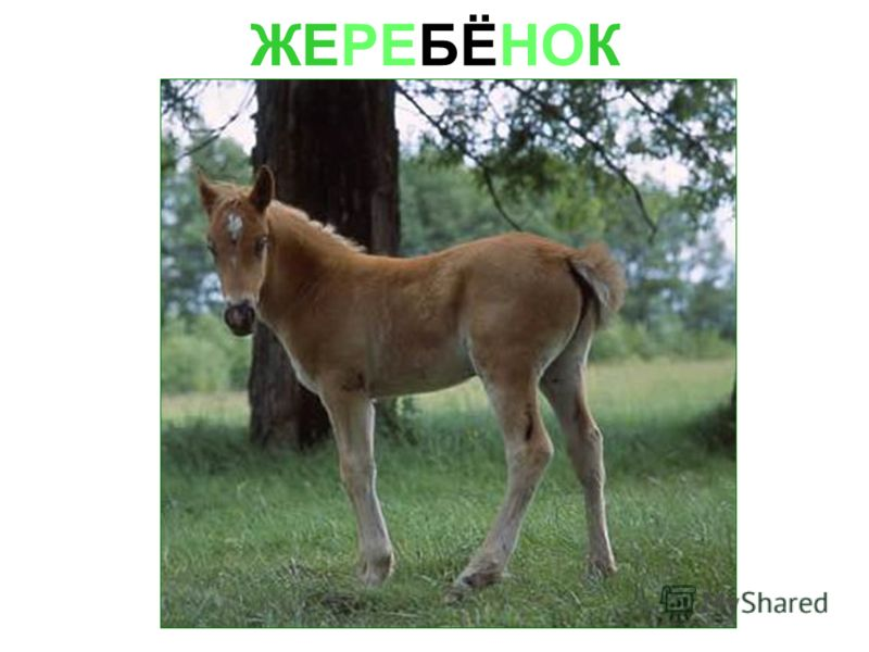 ЖЕРЕБЁНОК