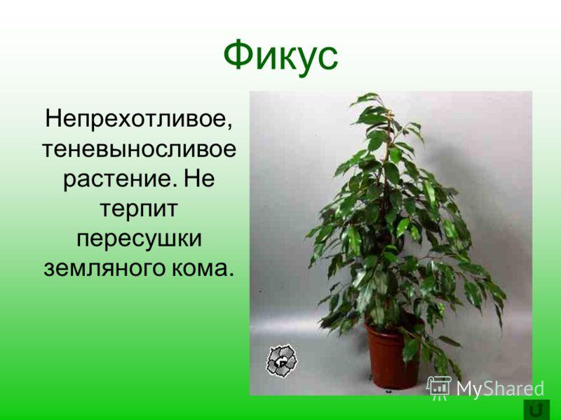 Фикус Непрехотливое, теневыносливое растение. Не терпит пересушки земляного кома.