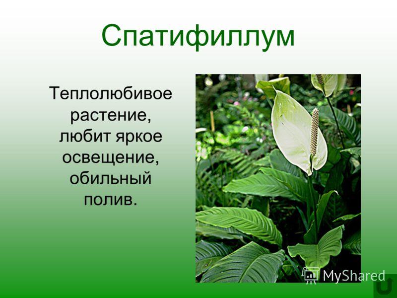 Спатифиллум Теплолюбивое растение, любит яркое освещение, обильный полив.