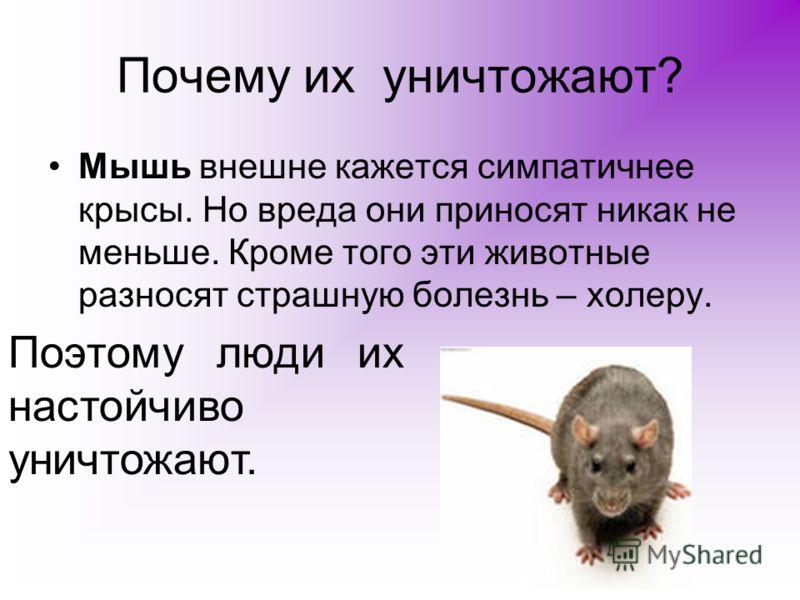 Почему их уничтожают? Мышь внешне кажется симпатичнее крысы. Но вреда они приносят никак не меньше. Кроме того эти животные разносят страшную болезнь – холеру. Поэтому люди их настойчиво уничтожают.