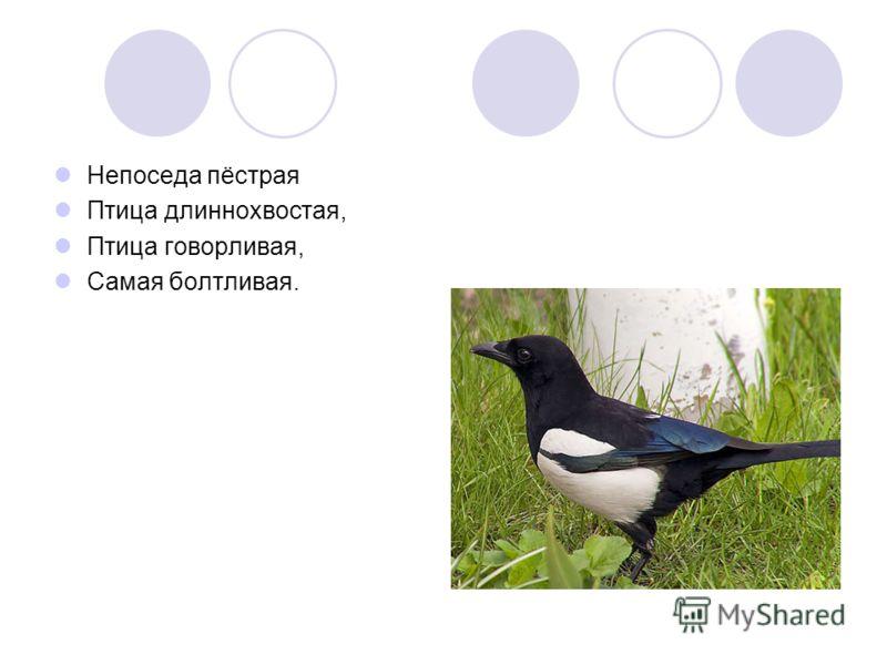 Непоседа пёстрая Птица длиннохвостая, Птица говорливая, Самая болтливая.