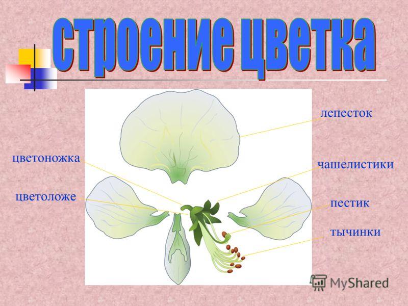 лепесток тычинки пестик чашелистики цветоложе цветоножка