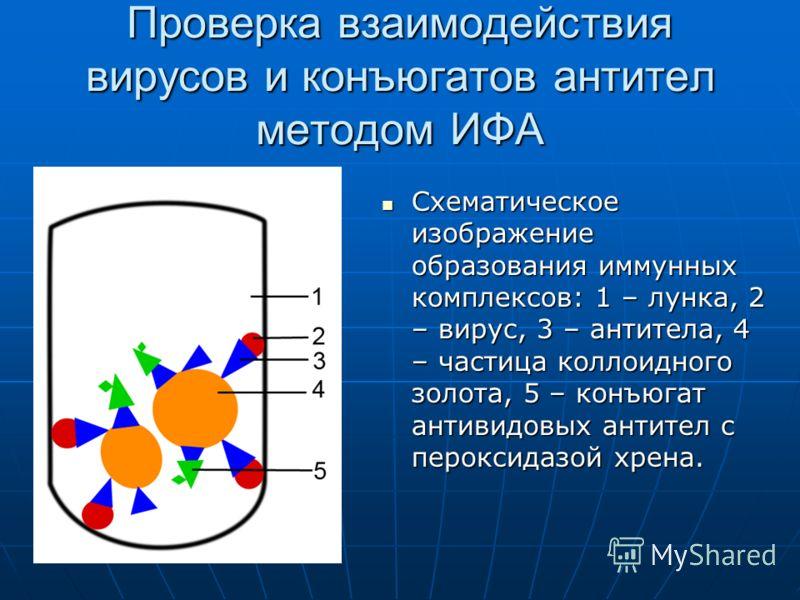 Проверка взаимодействия вирусов и конъюгатов антител методом ИФА Схематическое изображение образования иммунных комплексов: 1 – лунка, 2 – вирус, 3 – антитела, 4 – частица коллоидного золота, 5 – конъюгат антивидовых антител с пероксидазой хрена. Схе