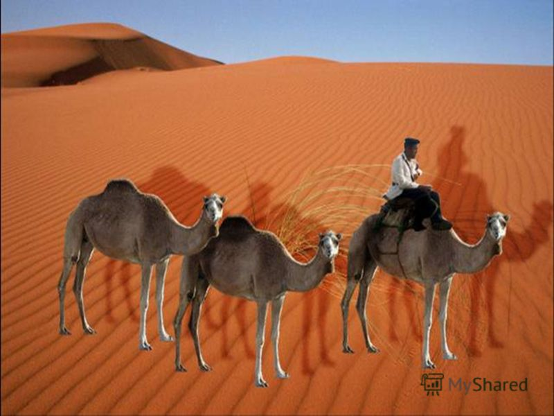 Керванът представлява навързани една след друга камили, които следват водача. Камилата може да носи товар до 250 кг, които са половината от нейното тегло. Пресметнете колко килограма тежи една камила. Решение: 250. 2 = 500 (кг) 250. 2 500 (кг) Отг. 5
