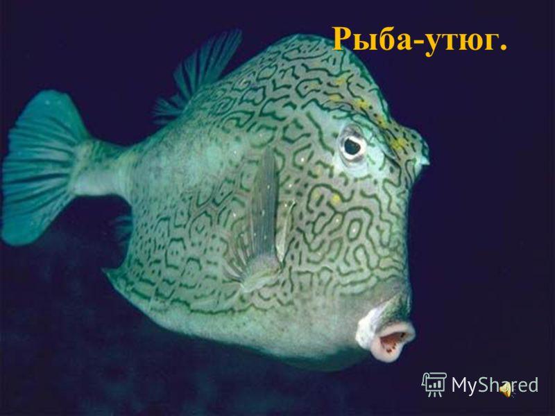 Рыба-утюг.